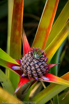 Hawaiian tropical fruits  Pineapples