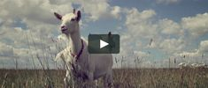 A 6min brief on the work being done in Laramie, WY whereby spider silk is being spun from goat milk.