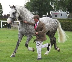 Silver Wind Twister   [Silver Jasper x Westpoint Diamond by Roma Diamond Skip] 2008 dapple grey stallion, 16.2hh Irish Draught Horse