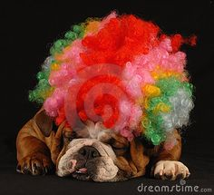 Funny bulldog by Willeecole, via Dreamstime