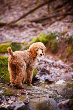 red standard poodle puppy, Edyn