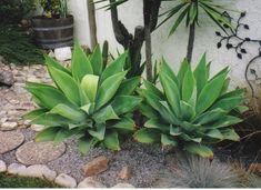 Agave attentuata - Fox Tail Agave – Smart Seeds Emporium