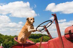 Minden, amit tudni kell a fokhagymáról! Red Tractor, Tractors, Begonia, Petunias, Bambi, Stock Photos, Landscape, Dogs, Animals