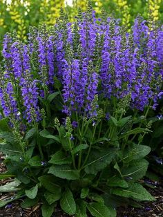 Salvia Midnight Model (Meadow Sage) This Midnight Model will rev your garden with big, electrified vibrant-blue flower spikes above a dense mound of lush foliage. Extras include its appeal to butterflies and hummingbirds. Meadow Sage is a tried-and-true p Flowers Perennials, Planting Flowers, Flowers Garden, Flower Gardening, Perennial Flowers For Shade, Purple Perrenial Flowers, Part Shade Perennials, Perennial Plant, Hardy Perennials
