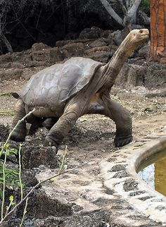 RIP Lonesome George. Sadly this last member of a very rare Galapagos giant tortoise, died yesterday at the age of 100, making his species extinct :(
