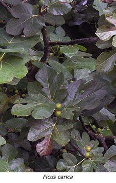 Ficus carica-vijg,lage boom,bijen