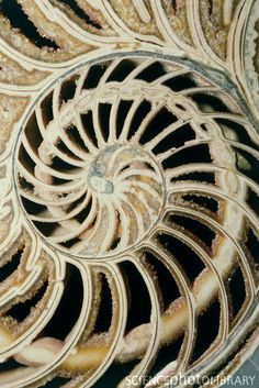 Fossilized nautilus shell  This image is part of the feature Golden Ratio also known as phi, an un-ending divisible number