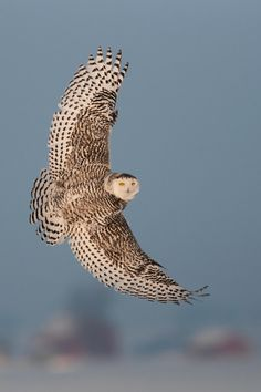 Snowy Owl Banking Right by Frank Angileri on 500px