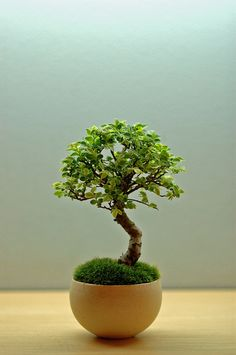 It might take another lifetime to be able to master Bonsai.
