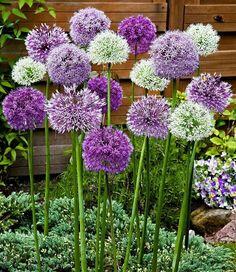 'Fantasia' The post Allium 'Fantasia' gem. 'Fantasia' appeared first on Easy flowers. Allium Flowers, Plants, Purple Garden, Bulb Flowers, Beautiful Flowers, Perennials, Ornamental Plants, Fall Bulbs, Flower Seeds