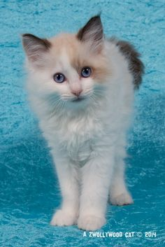 2014: Lightning A Zwollywood Cat. 10 Weeks old Ragdoll kitten, seal bicolour. Cars litter.