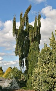 Sequoiadendron giganteum ' Pendulum ' Weeping Giant Redwood An upright evergreen conifer with drooping branches held close to the trunk. No two look alike. Due to a narrow habit, 'Pendulum' is popular