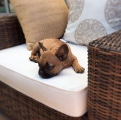 The cutest Frenchie pup you ever did see spent many summer afternoons on our Torrey Outdoor Furniture