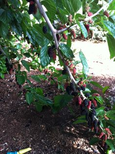 Mulberry tree toowoomba Australia. My garden