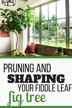 Indoor Gardening How to prune and shape your Fiddle Leaf Fig Tree. Learn how best to shape your Fiddle Leaf Fig Tree so it is growing tall and straight. Fig Leaf Tree, Fig Leaves, Indoor Trees, Indoor Plants, Indoor Gardening, Gardening Tips, Potted Plants, Container Gardening, Ficus Tree