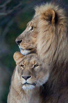 Love ❤️ lion.