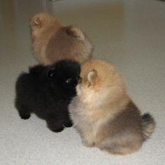 Damascusroad Pomeranians Puppy Photos