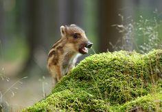Wildschwein © Jan Broz