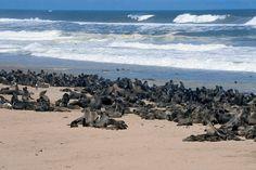 Otarie del capo, Namibia