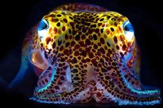 Hawaiian Bobtail Squid-The Hawaiian bobtail squid beams light from its belly to camouflage its dark shadow from predatory fish on the sea floor.