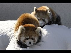 Video: Red pandas love snow