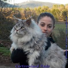 black+maine+coon | Silver Maine Coons Elevage de maine coon, This is PROOF that my phat kat isn't THAT big! -rcc