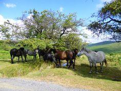 Dartmoor ponies;