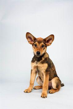 Cici the German Shepherd Mix start lineup, puppies, anim, 13 week, german shepherds, dog, puppi bowl, bowls, shepherd mix