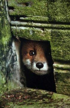 Fox   Vixen   Tod   Renard   лисица   Zorro   狐   Sionnach   Volpe  