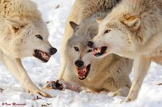 Wolves after obliterating their meal 🍖 🥩  Wolf Fac Angry Wolf, Wild Wolf, Fauna, Wild Hearts, Cold Day, Predator, Husky, Creatures, Wolves