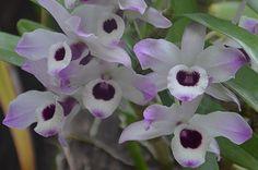 por Ana Luisa Fischer*     La especie  Dendrobium nobile  es oriunda de Vietnam, India, Tailandia, Laos y Myanmar, es una especie ep...