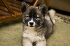 Agouti Siberian Husky-our SMALL family dog Puppies And Kitties, Baby Puppies, Cute Puppies, Cute Dogs, Doggies, Kittens, Cats, Siberian Dog, Siberian Huskies