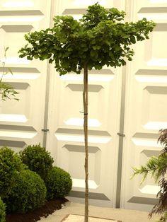 bildergebnis f r kugel trompetenbaum vorgarten pinterest. Black Bedroom Furniture Sets. Home Design Ideas