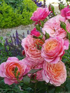 """blog """"Derrière les murs de mon jardin"""": L'automne des nouveaux rosiers (2) : chez Promesse de fleurs, un générosa nommé 'Prix P. J. Redouté' : j'ai été conquise par 'Ladurée' cette saison, dont les fleurs mêlent le framboise et l'orangé,"""