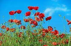 Poppy, Flower, Klatschmohn, Blossom