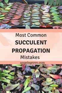 Indoor Gardening Most Common Succulent Propagation Mistakes. Are you struggling with propagation? Learn Tips from a Pro. Learn to make hundreds of succulents in a couple of months with propagation! Succulent Cuttings, Propagating Succulents, Succulent Care, Succulent Gardening, Gardening Tips, Indoor Gardening, Succulent Garden Ideas, Succulents In Containers, Succulent Planters