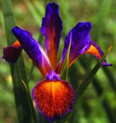 Sonoran Carnival Spuria Iris -- how gorgeous is that!