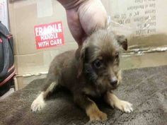 Shelter Animals of Garland, Mesquite, Rowlett, Royse City & Surroundings Page Liked · April 18 · Edited ·    *NEED ADOPTION/RESCUE INTEREST EMAILED BEFORE 7AM TOMORROW!* PUPPY ALERT A200598 I am an unaltered female, brown tan Chihuahua - Long Coated mix?