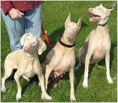 A Partial Gene Deletion of Causes Oculocutaneous Albinism in Doberman Pinscher Dogs White Doberman Pinscher, Doberman Love, Rottweiler Puppies, Weimaraner, Melanistic Animals, Michigan, German Dog Breeds, Love My Dog, Doberman Pinscher