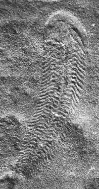 Ediacara fauna. These fauna represent an important landmark in the evolution of life on Earth: they immediately predate the explosion of life-forms at the beginning of the Cambrian Period 541 million years ago. | paleontology | Encyclopedia Britannica