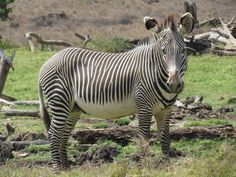 A critically endangered Grevy's Zebra. The Grevy's are larger than their common counterparts with thinner stripes and bigger ears