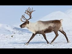 Reindeer Round-up: Fun Facts, Crafts & Activities - Edventures with Kids