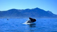 Whale Watching Private Day Tour to Hermanus from Cape Town in South Africa Africa Beaches In The World, Countries Of The World, Seaside Village, Whale Watching, Nature Reserve, Day Tours, Marine Life, Cape Town, Day Trip