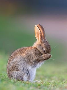 """Bunny Rabbit: """"Saying A Prayer For Carrots."""" (Photo By: Rucher. Cute Baby Animals, Animals And Pets, Funny Animals, Baby Bunnies, Cute Bunny, Bunny Rabbits, Beautiful Creatures, Animals Beautiful, Beautiful Images"""