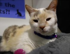 Meet SIERRA, an adoptable Domestic Short Hair looking for a forever home.  adopted.