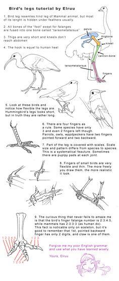 Bird legs tutorial by Elruu.deviantart.com on @deviantART ✤    CHARACTER DESIGN REFERENCES   解剖 •  علم التشريح • анатомия • 解剖学 • anatómia • एनाटॉमी • ανατομία • 해부 • Find more at https://www.facebook.com/CharacterDesignReferences & http://www.pinterest.com/characterdesigh if you're looking for: #anatomy #anatomie #anatomia #anatomía #anatomya #anatomija #anatoomia #anatomi #anatomija #animal #creature    ✤