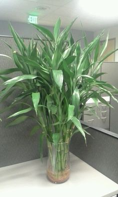 Lucky Bamboo Care, Bamboo Plant Care, Lucky Bamboo Plants, Water Plants Indoor, Aquatic Plants, Household Plants, All About Plants, Inside Plants, Bamboo Crafts