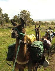 Llama Halters, Llama Pack Saddles and Trail Gear Llama Alpaca, Saddles, Donkey, Rocky Mountains, Buddhism, Glamping, Trekking, South America, Farming