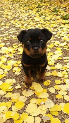 Sweet #Rotty                                                       …
