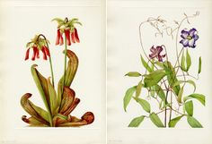 Parrot pitcherplant (Sarracenia psittacina), Curly clematis (Clematis crispa) (right); Mary Vaux Wolcott's North American Wildflowers (1925)